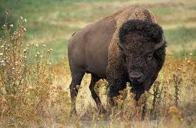 Bison Hunter Arrset